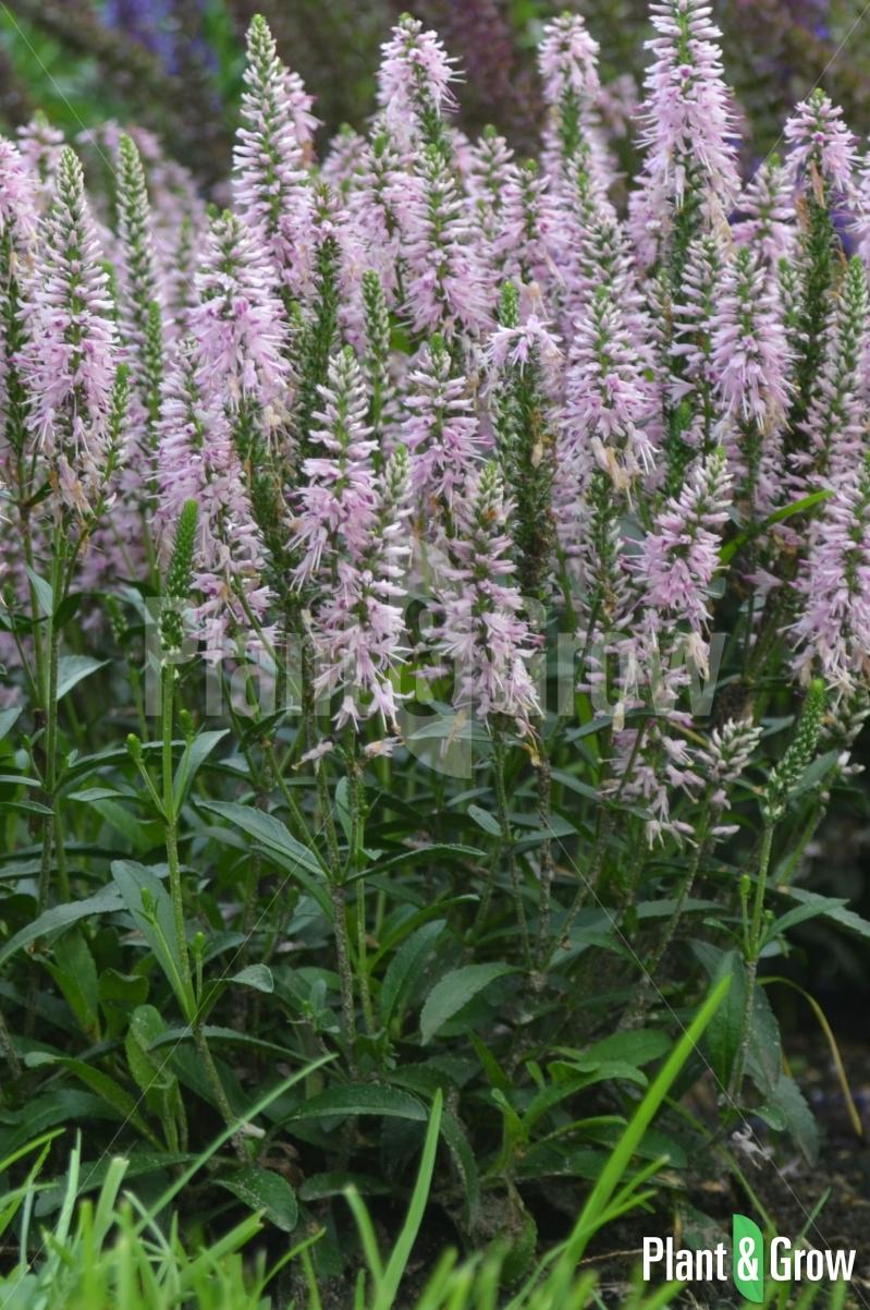 Veronica spicata 'Inspire Pink' | Ereprijs