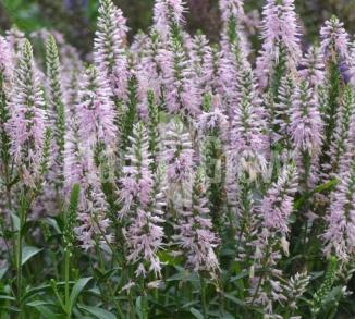 Veronica spicata 'Inspire Pink' Ereprijs