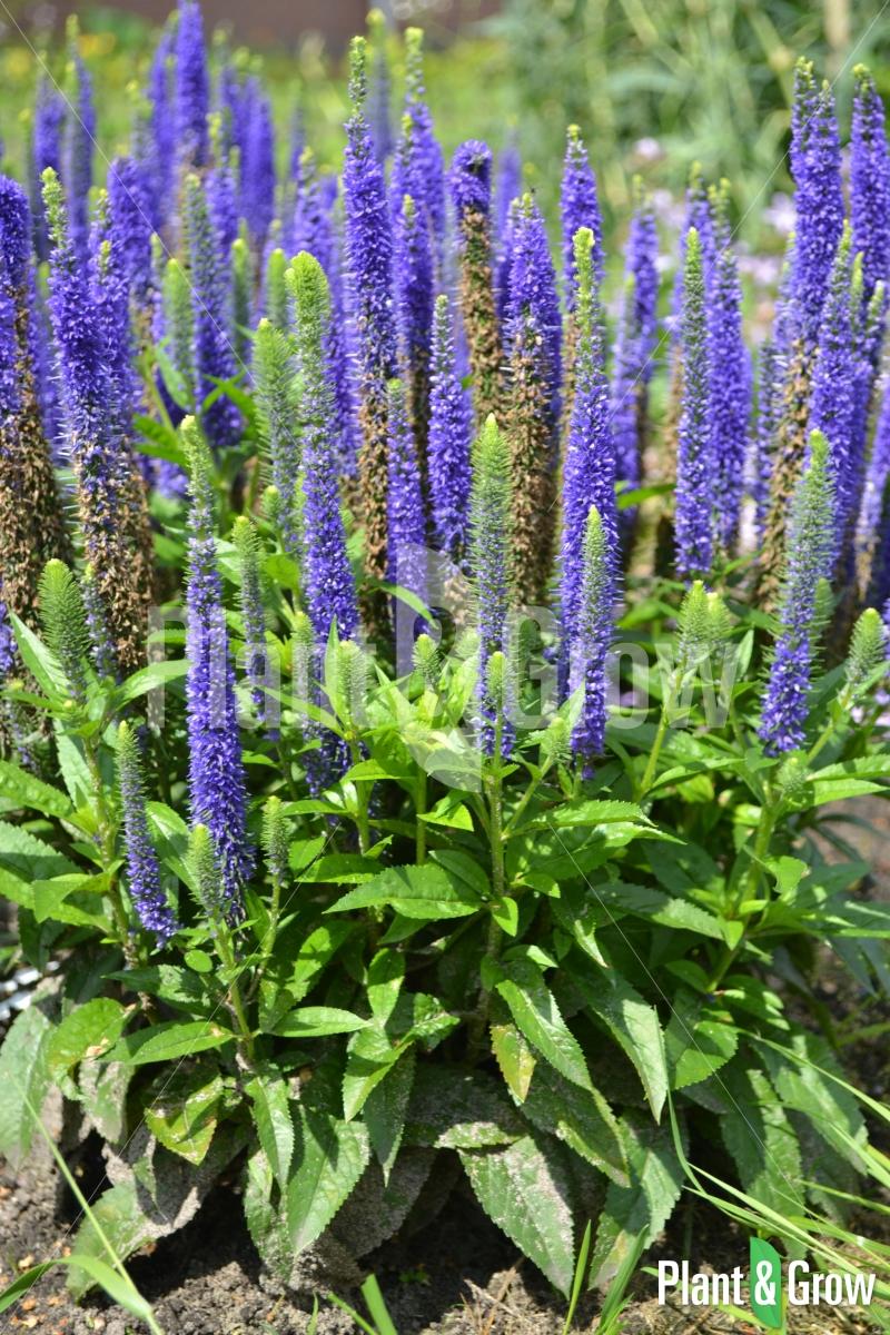 Veronica spicata 'Ulster Blue Dwarf'