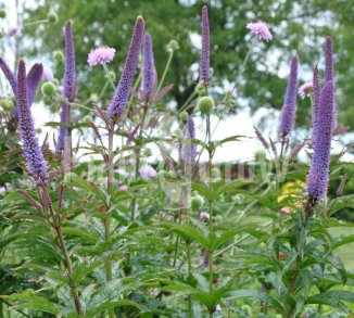 Veronicastrum sibiricum 'Red Arrows' Ereprijs