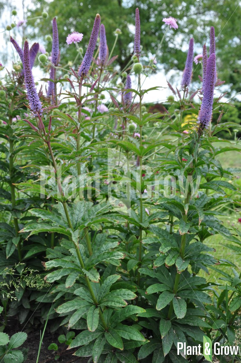 Veronicastrum sibiricum 'Red Arrows'