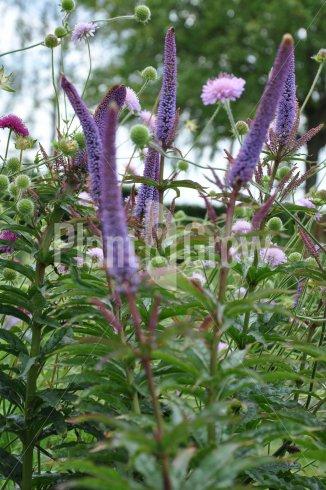 Veronicastrum sibiricum 'Red Arrows' | Ereprijs
