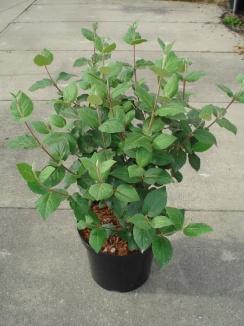 Viburnum carlesii | Sneeuwbal (12L pot)