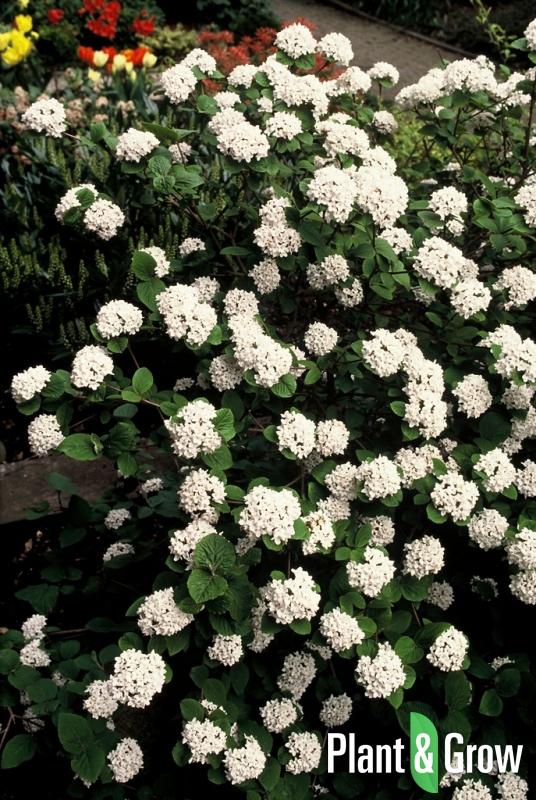 Viburnum carlesii | Sneeuwbal