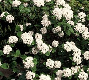 Viburnum carlesii Sneeuwbal
