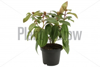 Viburnum davidii | Sneeuwbal (Ø 17cm pot)