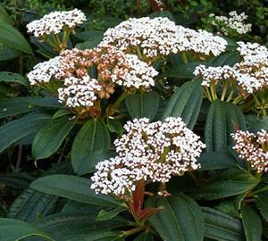 Viburnum davidii Sneeuwbal
