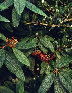 Viburnum rhytidophyllum | Sneeuwbal