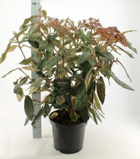 Viburnum rhytidophyllum | Sneeuwbal (12L pot)