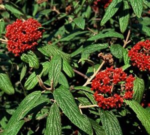 Viburnum rhytidophyllum Sneeuwbal