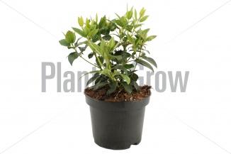 Viburnum tinus | Sneeuwbal (Ø 17cm pot) - VOORJAAR