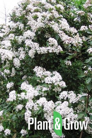 Viburnum tinus | Sneeuwbal