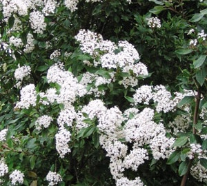 Viburnum tinus Sneeuwbal