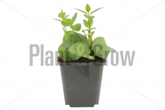 Vinca major | Grootbladige maagdenpalm (pot 9x9cm)