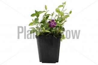 Vinca minor 'Atropurpurea' | Kleinbladige maagdenpalm (pot 9x9cm