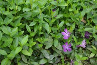Vinca minor 'Atropurpurea' | Kleinbladige maagdenpalm