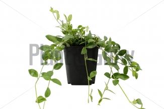 Vinca minor 'Gertrude Jekyll' | Kleinbladige maagdenpalm (pot 9x9cm)