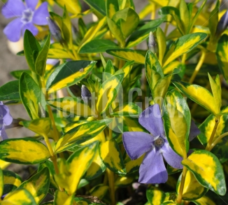 Vinca minor 'Illumination' Kleinbladige maagdenpalm