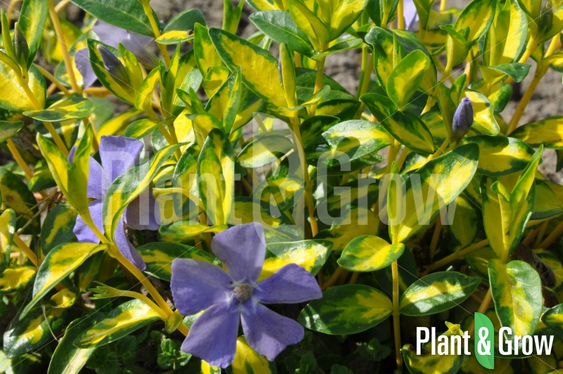 how to grow vinca minor from seed