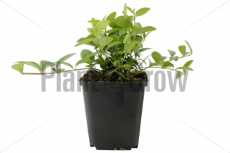 Vinca minor | Kleinbladige maagdenpalm (pot 9x9cm)