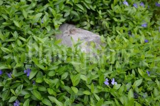 Vinca minor | Kleinbladige maagdenpalm