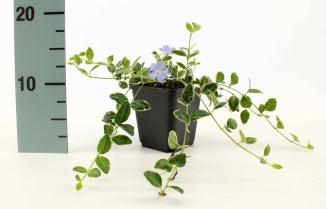 Vinca minor 'Ralph Shugert' | Kleinbladige maagdenpalm (pot 9x9cm)