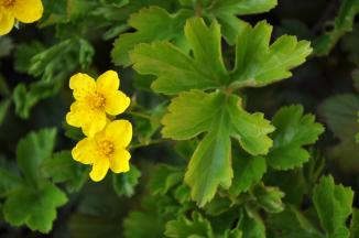 Waldsteinia ternata | Goudaardbei