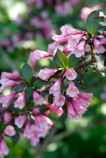 Weigela florida 'Foliis Purpureis' | Weigelia
