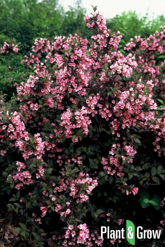 Weigela florida 'Foliis Purpureis' | Weigelia