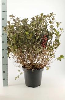 Weigela florida 'Foliis Purpureis' | Weigelia (12L pot)