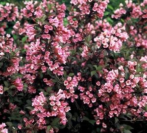 Weigela florida 'Foliis Purpureis' Weigelia