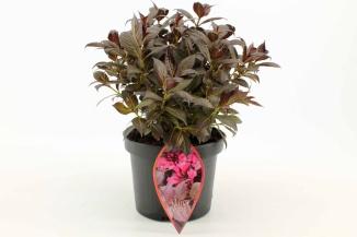 Weigela florida 'Minor Black' | Weigela (Ø 17cm pot)