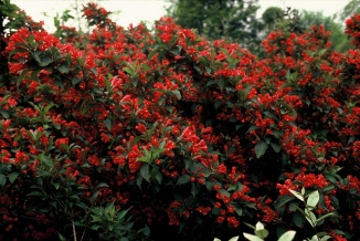 Weigela 'Red Prince' | Weigelia