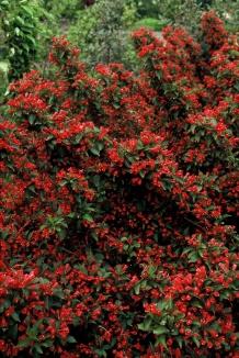 Weigela 'Red Prince' | Weigelia