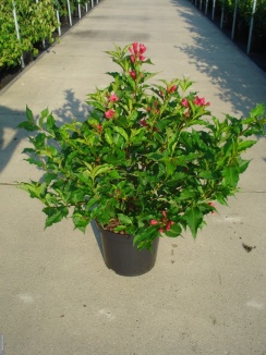 Weigela 'Red Prince' | Weigelia (12L pot)