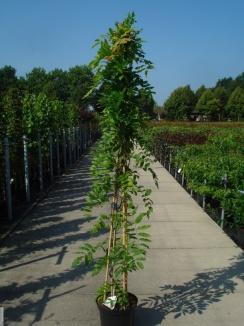 Wisteria sinensis 'Prolific' | Blauwe regen (12L pot)