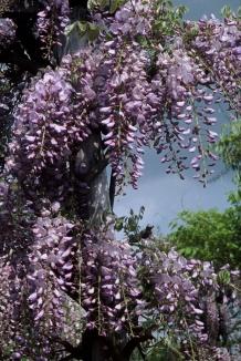 Wisteria sinensis 'Prolific' | Blauwe regen