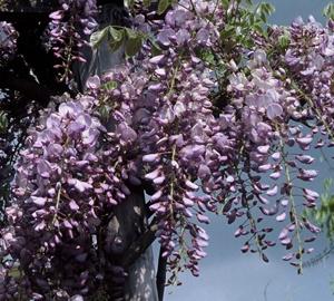 Wisteria sinensis 'Prolific' Blauwe regen