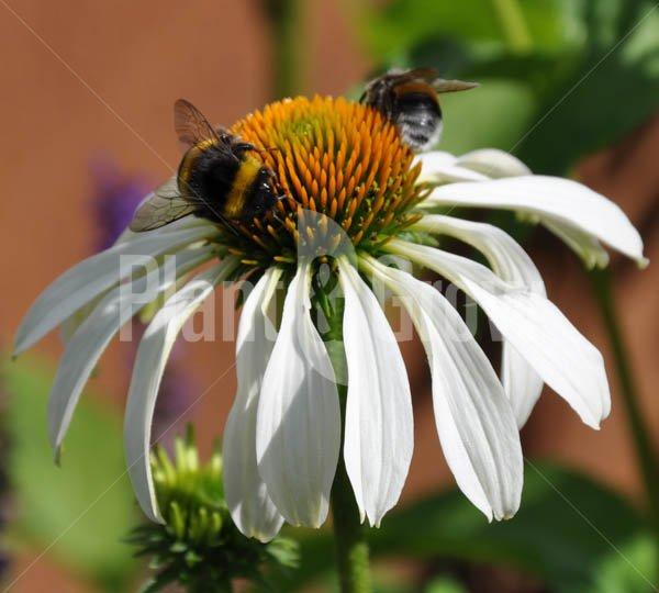 Bijen- en nectarplanten
