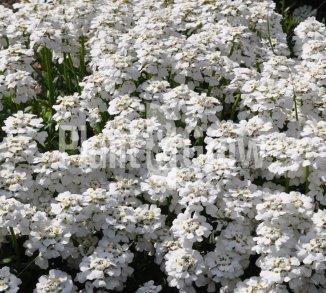 Vaste planten met witte bloemen