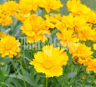 Vaste planten met gele bloemen