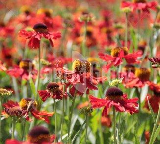 Vaste planten met rode bloemen | Plant & Grow