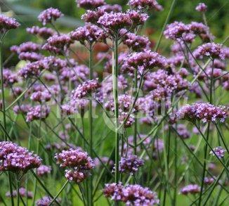 Vaste planten met paarse/violet bloemen | Plant & Grow