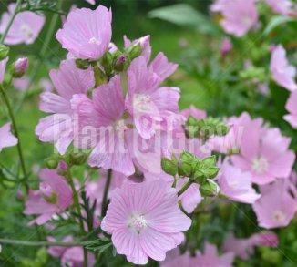 Vaste planten met roze bloemen