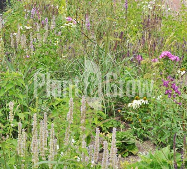 Prairieplanten